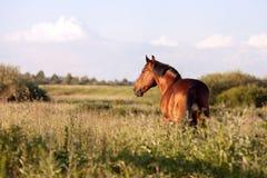 Cavalo de baía em um fundo verde que olha na distância Fotografia de Stock Royalty Free