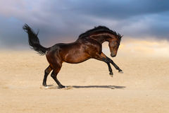 Cavalo de baía no deserto Imagens de Stock