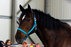 Cavalo de baía no manege Fotografia de Stock