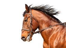 Cavalo de baía no perfil em um fundo branco Close-up Fotos de Stock