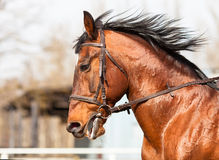 Cavalo de baía no perfil na arena Fotografia de Stock Royalty Free