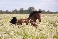 Cavalo de baía que corre no campo com flores Foto de Stock