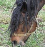 Cavalo de baía que pasta em um prado Fotos de Stock Royalty Free
