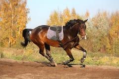 Cavalo de baía bonito que galopa no outono Fotografia de Stock Royalty Free
