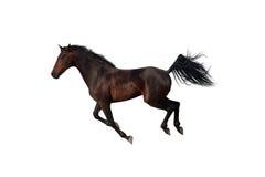Cavalo de baía que galopa no fundo branco Fotografia de Stock Royalty Free