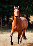 Cavalo de Brown Foto de Stock Royalty Free