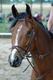 Cavalo de Brown. Fotografia de Stock Royalty Free