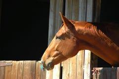 Cavalo de Brown Foto de Stock