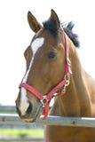 Cavalo de Brown Imagens de Stock