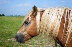 Cavalo de Brown com a juba loura que levanta pacientemente para o photographe Imagens de Stock Royalty Free