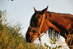 Cavalo de Brown em um prado contra o céu Fotografia de Stock