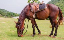 Cavalo de Brown em uma exploração agrícola Foto de Stock Royalty Free