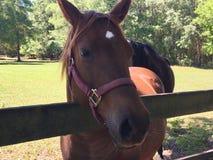 Cavalo de Brown na cerca Foto de Stock Royalty Free