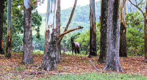 Cavalo de Brown na floresta no outono Fotografia de Stock