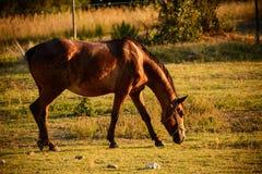 Cavalo de Brown na pastagem Fotografia de Stock Royalty Free