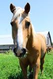 Cavalo de Brown no campo Foto de Stock