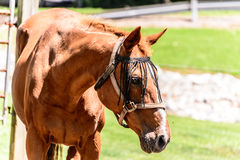 Cavalo de Brown no rancho Fotos de Stock