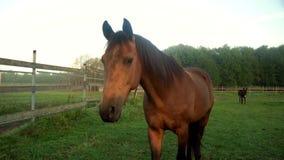 Cavalo de Brown que anda no pasto na exploração agrícola animal Cavalo de Brown que olha a câmera video estoque