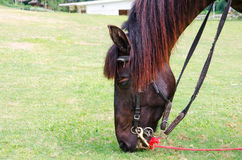 Cavalo de Brown que come a grama Imagens de Stock Royalty Free