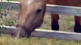 Cavalo de Brown que estica sobre uma cerca do prado filme