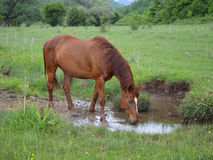 Cavalo de Brown que molha no prado verde Fotografia de Stock
