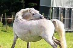 Cavalo de Camargue Fotografia de Stock Royalty Free