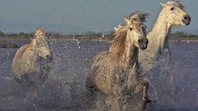 Cavalo de Camargue, grupo que galopa através do pântano, Saintes Marie de la Mer em Camargue, no sul de França, video estoque