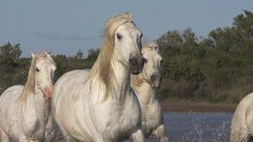 Cavalo de Camargue, rebanho que galopa através do pântano, Saintes Marie de la Mer em Camargue, no sul de França, video estoque