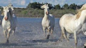 Cavalo de Camargue, rebanho que galopa através do pântano, Saintes Marie de la Mer no sul de França, video estoque