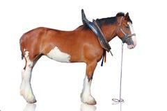 Cavalo de Clydesdale isolado no branco. Imagem de Stock Royalty Free