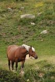 Cavalo de Comtois Fotos de Stock