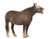 Cavalo de Comtois, um cavalo de esboço, caballus do Equus Fotos de Stock