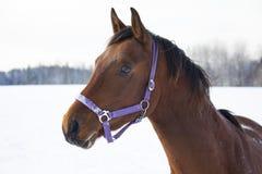 Cavalo de condado no inverno Fotos de Stock Royalty Free