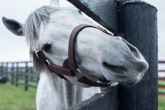 Cavalo de corrida branco Fotografia de Stock Royalty Free