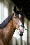 Cavalo de corrida delicado que olha a câmera no salão da equitação Imagem de Stock