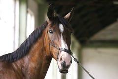 Cavalo de corrida delicado que olha a câmera no salão da equitação Fotografia de Stock Royalty Free