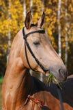 Cavalo de corrida do arabian do puro-sangue Imagens de Stock