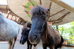 Cavalo de Dwalf Fotografia de Stock