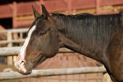 Cavalo de equitação no estábulo Fotos de Stock