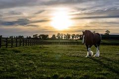 Cavalo de esboço que anda com alargamento do sol Imagens de Stock Royalty Free