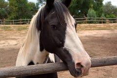Cavalo de exploração agrícola pintado preto e branco Fotografia de Stock