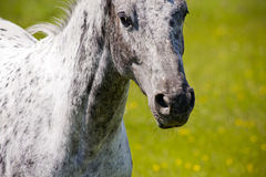 Cavalo de galope Fotos de Stock