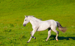 Cavalo de Gray Arab Foto de Stock