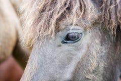 Cavalo de Gray Icelandic fotos de stock royalty free