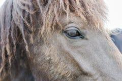 Cavalo de Gray Icelandic fotografia de stock