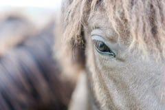 Cavalo de Gray Icelandic fotos de stock