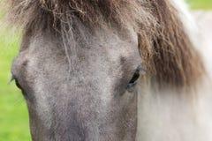 Cavalo de Gray Icelandic foto de stock royalty free