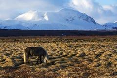 Cavalo de Gray Icelandic na frente das montanhas nevado foto de stock