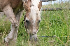 Cavalo de Haflinger Foto de Stock Royalty Free