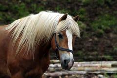 Cavalo de Haflinger Foto de Stock